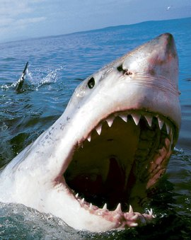 Chatham MA Shark